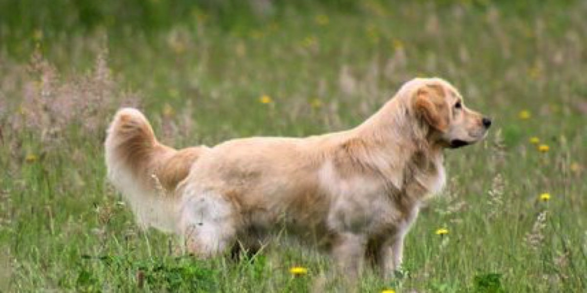 About - Northwest Goldens, Breeder of Golden Retrievers